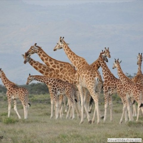 10. The Rothschild Giraffe Project has now been operating for 18 months