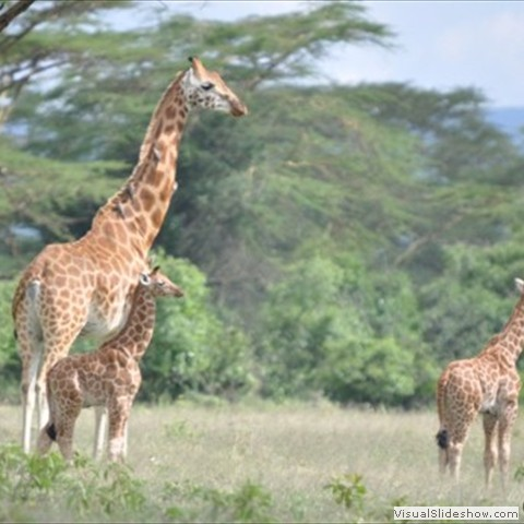 11. Rothschild Giraffe mother and calf