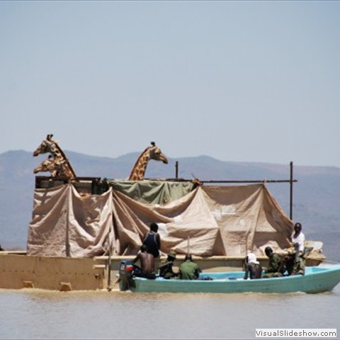 12. Giraffes being moved across Lake Baringo by boat - the first time a translocation like this has been done