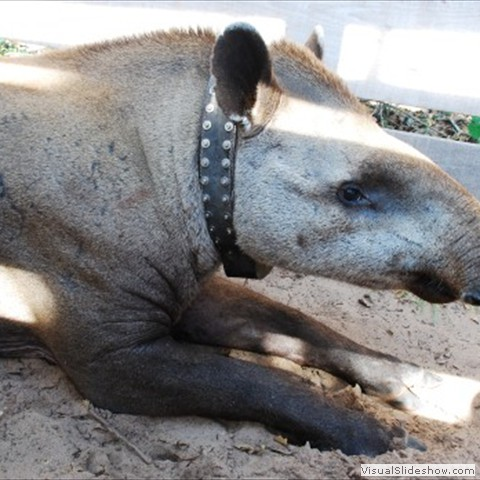 13. The Lowland Tapir Conservation Initiative carries out research on tapir ecology in the Brazilian Pantanal