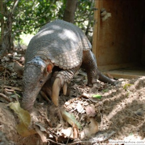 4. Researchers liken searching for Armadillos to searching for a needle in a haystack