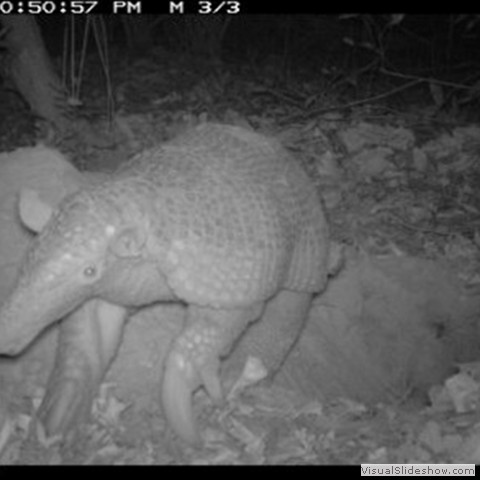 5. Camera traps are a vital research tool for such a secretive species