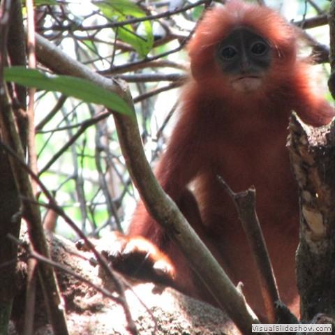 6. Sabangau Red Langur Research Project