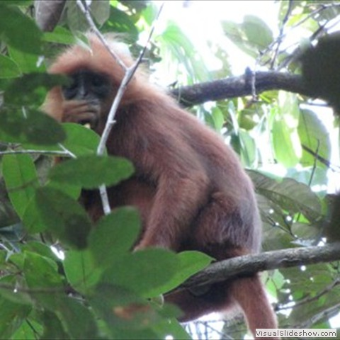 8. Dave Smith has been carrying out research on the conservation and ecology of the Red Langur