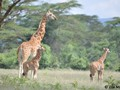 Rothschild Giraffe mother and calf