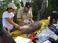 Giant Armadillos are fitted with transmitters, allowing the team to collect valuable data