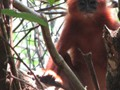 Sabangau Red Langur Research Project