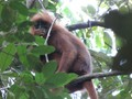 Dave Smith has been carrying out research on the conservation and ecology of the Red Langur